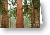 Biggest Tree Greeting Cards - Sequoia trees Greeting Card by Hideaki Sakurai