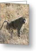 Pensive Greeting Cards - Serengeti Baboon in Grass Greeting Card by Darcy Michaelchuk
