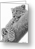 Black Leopard Greeting Cards - Serengeti Leopard Greeting Card by Larry Linton