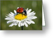 Bellis Greeting Cards - Seven-spotted Ladybird Coccinella Greeting Card by Konrad Wothe