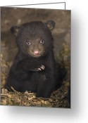 Black Bear Cubs Greeting Cards - Seven Week Old Black Bear Cub Greeting Card by Suzi Eszterhas