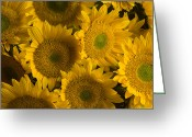Farmers Markets Greeting Cards - Several Sunflowers Are Grouped Together Greeting Card by Ralph Lee Hopkins