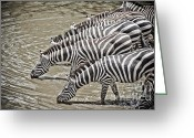 Waterhole Greeting Cards - Several Thirsty Zebra Greeting Card by Darcy Michaelchuk