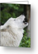 Howling Wolf Greeting Cards - Shadow Greeting Card by Gerry Sibell