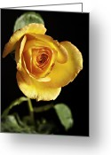 Fine Art Framed Prints Greeting Cards - Sharp Yellow Rose on Black Greeting Card by M K  Miller