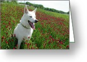 Robyn Stacey Photo Greeting Cards - Shasta Crimson Fields Greeting Card by Robyn Stacey