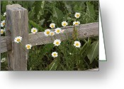 Split Rail Fence Greeting Cards - Shasta Daiseys by Split Rail Fence Greeting Card by Jim Vansant
