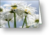 White Daisies Greeting Cards - Shasta Daisies dry brushed Greeting Card by Sharon  Talson