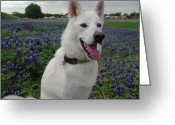 Texas.photo Photo Greeting Cards - Shasta in Bluebonnets II Greeting Card by Robyn Stacey