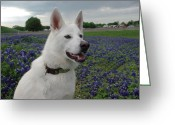 Texas.photo Photo Greeting Cards - Shasta in Bluebonnets Greeting Card by Robyn Stacey