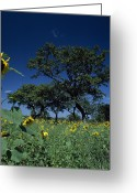 Uganda Greeting Cards - Shea Trees Intercropped With Sunflowers Greeting Card by David Pluth