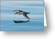 Sea Bird Greeting Cards - Shearing the water Greeting Card by Nina Stavlund