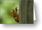 Cicadas Greeting Cards - Shedded Skin Of 17 Year Cicada Greeting Card by Todd Gipstein