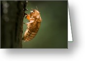 Cicadas Greeting Cards - Shedded Skin Of A Cicada Illuminated Greeting Card by Todd Gipstein
