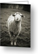 Livestock Greeting Cards - Sheep Chewing Cud Greeting Card by Danielle D. Hughson