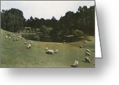 Golden Gate Park Greeting Cards - Sheep Graze In Golden Gate Park Greeting Card by Charles Martin