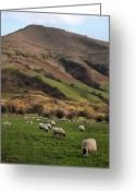 Livestock Greeting Cards - Sheep Grazing In Peak Greeting Card by Michelle McMahon
