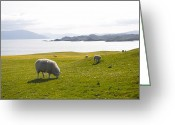 Four Animals Greeting Cards - Sheep Grazing On Grass Of Iona, Isle Greeting Card by Keenpress