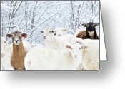 Flock Greeting Cards - Sheep In Heavy Snow, Family Farm, Webster County, Greeting Card by Thomas R. Fletcher