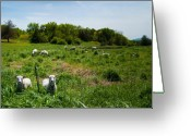 Counting Sheep Greeting Cards - Sheep Stare Greeting Card by Mandy Wiltse