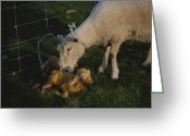 Animal Life Cycles Greeting Cards - Sheep With Two Newborn Lambs Greeting Card by Todd Gipstein