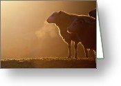 Three Animals Greeting Cards - Sheeps Breath Greeting Card by Peter Chadwick LRPS