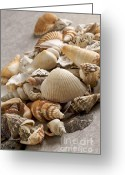 Still Life Photo Greeting Cards - Shellfish shells Greeting Card by Bernard Jaubert
