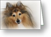Shetland Sheepdog Greeting Cards - Sheltie Dog - A sweet-natured smart pet Greeting Card by Christine Till