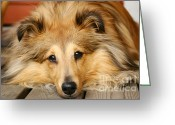 Shetland Sheepdog Greeting Cards - Sheltie Greeting Card by Kati Molin