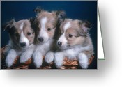 Shetland Sheepdog Greeting Cards - Sheltie Puppies Greeting Card by Photo Researchers, Inc.