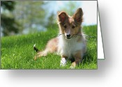 Twig Greeting Cards - Shetland Puppy Playing With Twig Greeting Card by Carole Cote