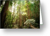 Redwood Greeting Cards - Shine Through Greeting Card by Ariane Moshayedi