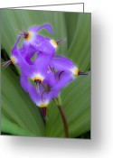 Wildflower Photography Greeting Cards - Shooting Star and Corn Lily Greeting Card by Joe  Palermo