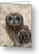Owl Photography Greeting Cards - Short-eared Owl Asio Flammeus Portrait Greeting Card by Konrad Wothe