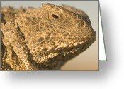 Horned Lizard Greeting Cards - Short-horned Lizard Found In The Little Greeting Card by Phil Schermeister