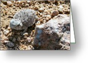 Horned Lizard Greeting Cards - Short Horned Lizard Greeting Card by Richard Stillwell