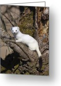 Short Greeting Cards - Short-tailed Weasel Mustela Erminea Greeting Card by Konrad Wothe