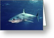 Swimming Photo Greeting Cards - Shortfin Mako Sharks Greeting Card by James R.D. Scott