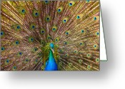 Feathers Greeting Cards - Showing Your Colors Greeting Card by Mike  Dawson
