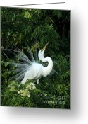 Showy Greeting Cards - Showy Great White Egret Greeting Card by Sabrina L Ryan