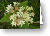 Estephy Sabin Figueroa Greeting Cards - Showy Milkweed Greeting Card by Estephy Sabin Figueroa