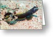 Partner Greeting Cards - Shrimp Goby With Its Partner Shrimp Greeting Card by Georgette Douwma