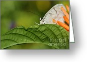 Gossamer Greeting Cards - Shy Butterfly Greeting Card by Sabrina L Ryan