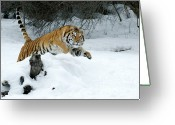 Siberian Tiger Greeting Cards - Siberian Tiger Greeting Card by Sandra Bronstein