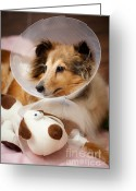 Sheltie Greeting Cards - Sick buddies Greeting Card by Kati Molin