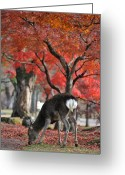 Japanese Maple Greeting Cards - Sika Deer In Autumn Colors Greeting Card by Myu-myu