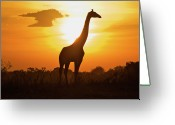 Animal Themes Greeting Cards - Silhouette Giraffe At Sunset Greeting Card by Joost Notten