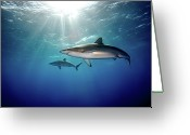 Swimming Photo Greeting Cards - Silky Sharks Greeting Card by James R.D. Scott