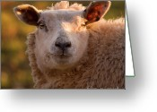 Sheep Greeting Cards - Silly Face Greeting Card by Angel  Tarantella