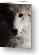 Intent Greeting Cards - Silver Coyote Greeting Card by Douglas Barnett